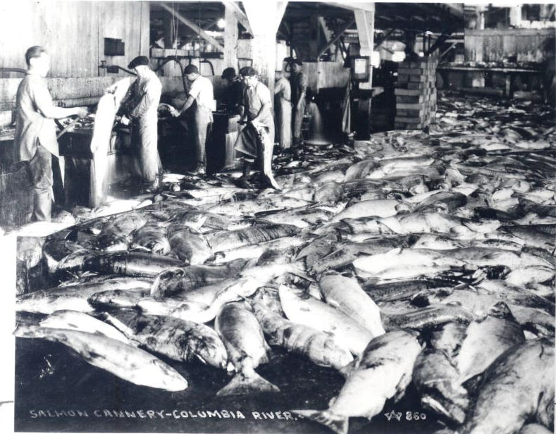 Chinese workers in salmon cannery, probably Astoria