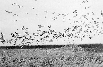 Flock of pelicans and gulls, Malheur Lake, 1908
