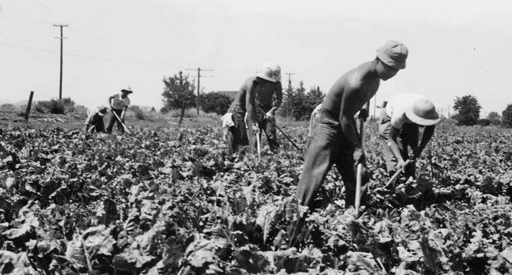 Japanese Am, hoeing beets, Malheur County