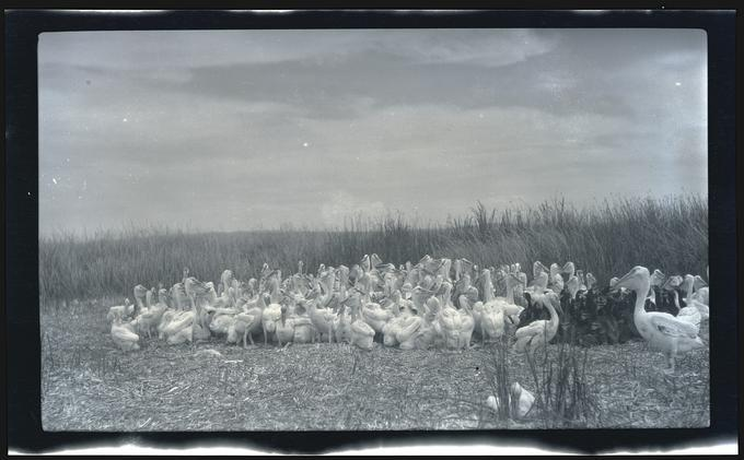 Pelicans and cormorants, Malheur Lake, 1919