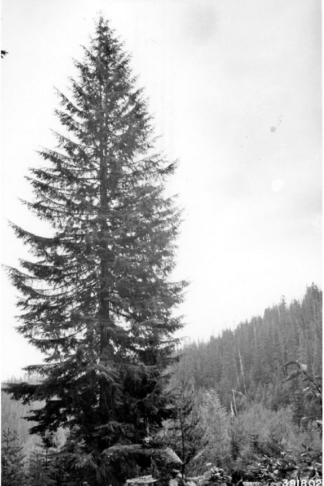 western hemlock tree conifers