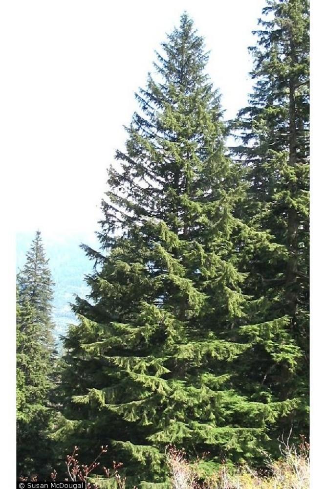 Western Hemlock Tree 85769 | DFILES