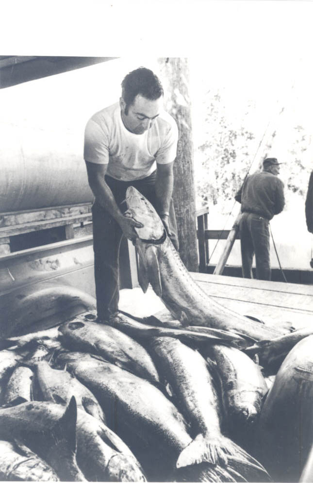 Gillnetter boat, Chinook salmon haul, 1973