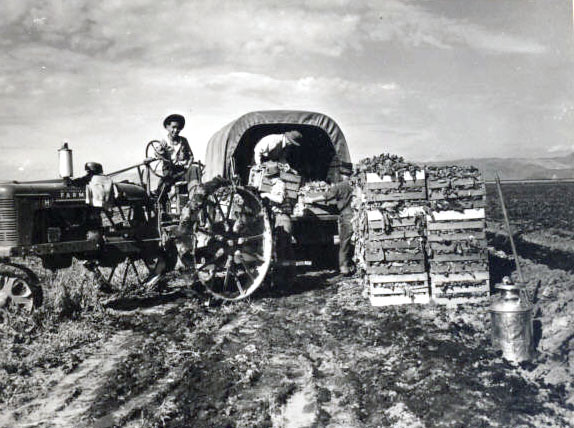 Men loading spinach in Tule Lake, 1942