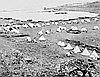 Eadweard Muybridge recorded the final stages of the Modoc War in 1873 with this photograph of Gillem's Army Camp at Tule Lake, California.