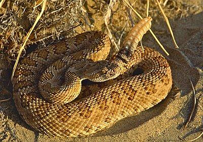 Rattlesnakes In Oregon