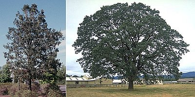 Whitebark pine restoration strategy for the pacific northwest