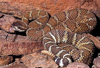 Rattlesnakes in Oregon