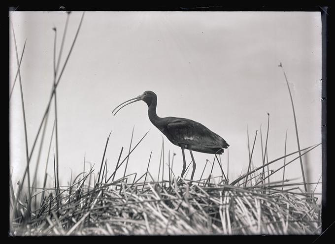 White-faced Glossy Ibis, Malheur Lake, 1908