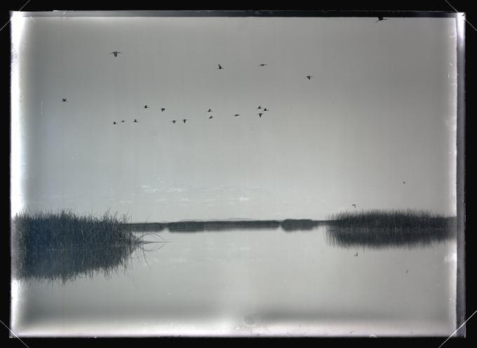 White-faced Glossy Ibises over Malheur Lake, 1908